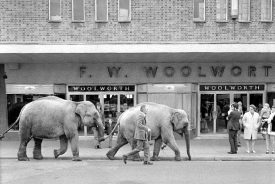 Elephants from Sir Robert Fossett's circus parading along Queen's Road, Nuneaton. May 5th 1974. |  Warwickshire County Record Office reference PH(N)882/4776