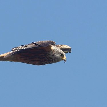 Warwickshire Red Kites Are On the Increase