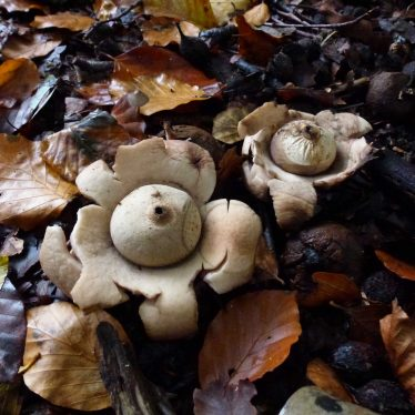 Earth Star Fungus