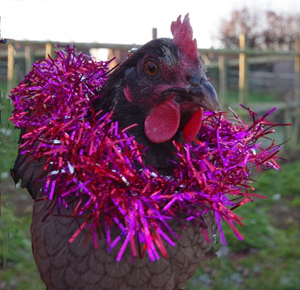 A chicken that has tinsel draped around it. The chicken looks grumpy. | Photo by Robert Ravenhall.