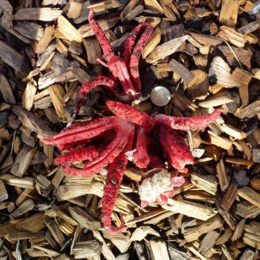 Octopus Stinkhorn - A First for Warwickshire