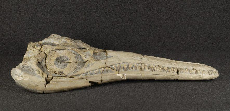 Binton ichthyosaur skull | Warwickshire Museum