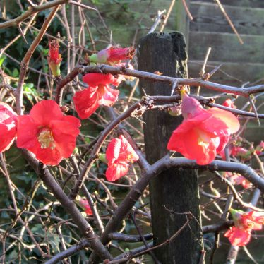 Japonica in January