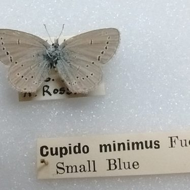 Saving the Small Blue Butterfly