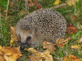 European hedgehog | Jorg Hempel: file licensed under a Creative Commons Attribution-Share Alike 2.0 Licence