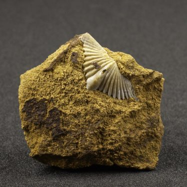 190 million year-old fossil brachiopod – a type of shellfish – from the Jurassic ironstone of Edge Hill.