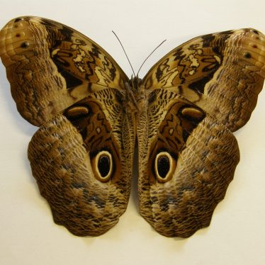 Owl butterfly, from the Manton Collection of entomology.