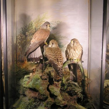 Cased kestrels from the Spicer taxidermy collection.