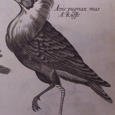 Illustration from Willughby's 'Ornithology...' 1678 edition. | Warwickshire County Record Office reference D.598.2.Wil(L)