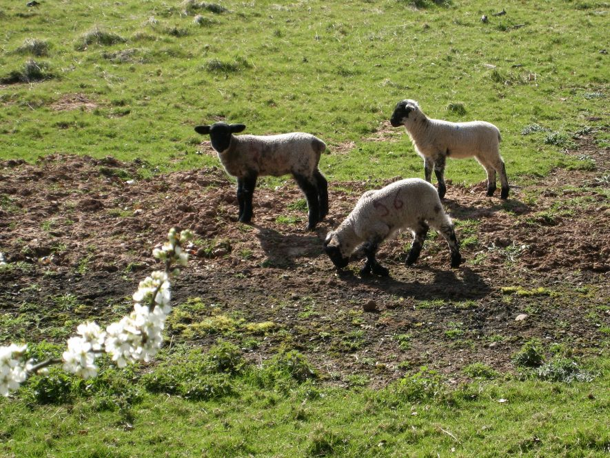 3 Lambs & blossom opposite Guy's Cliffe near Warwick | Anne Langley