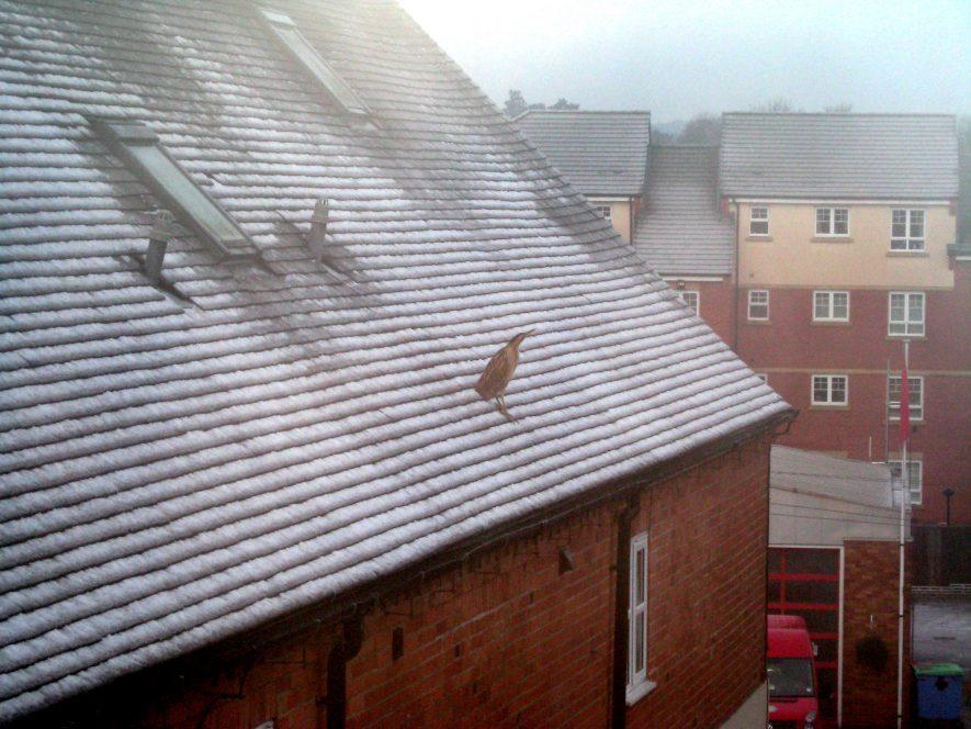 Bittern on Rooftop in Warwick. | Jon Radley