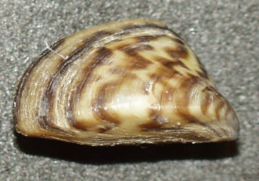 Zebra mussel shell | Photograph courtesy of the US Geological Survey