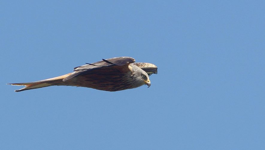 A Red Kite, flying in the sky head down looking for prey | Photo (c) Kathleen Everitt