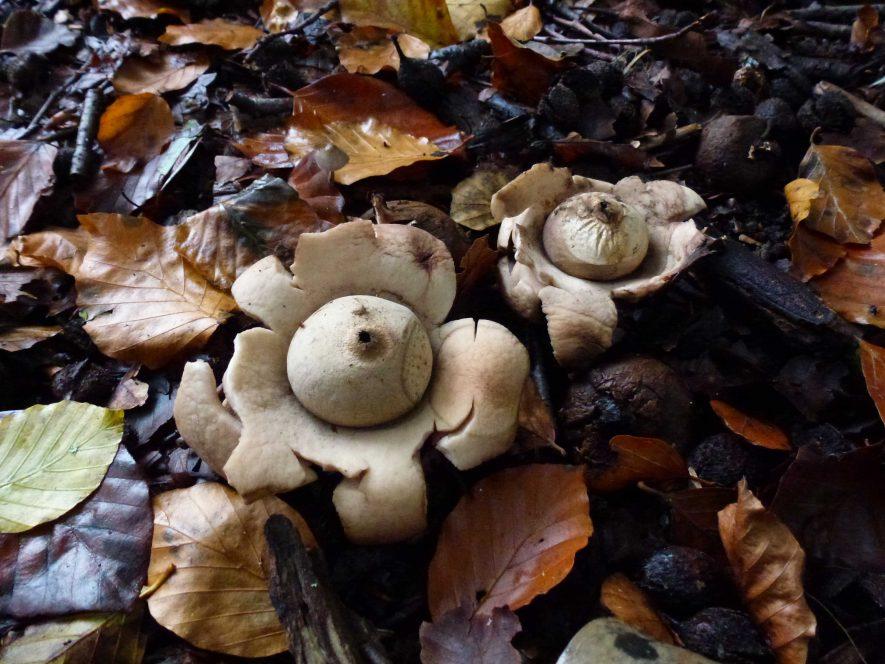 Earth Star Fungus | Photograph by Robert Pitt