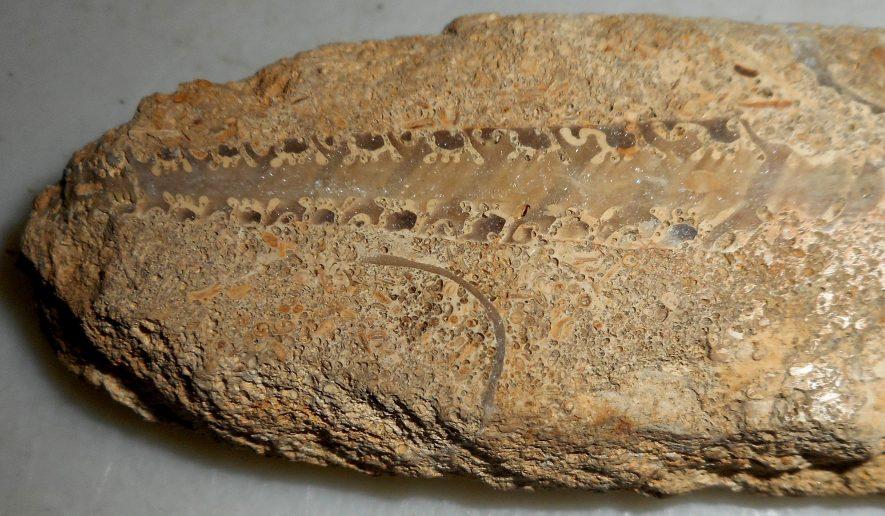 Nerineoid sea-snail | Warwickshire Museum