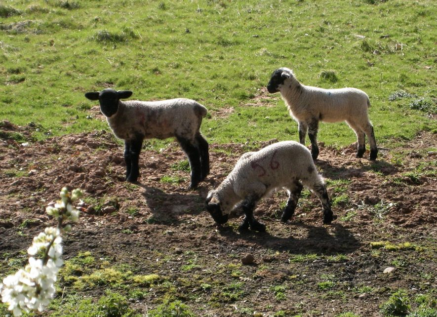 Three lambs (with black faces and feet) and blackthorn blossom | Anne Langley