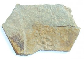 Nuneaton trilobite | Photo courtesy of Warwickshire Museum
