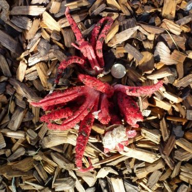 Octopus Stinkhorn - A First for Warwickshire