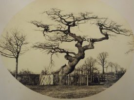 The Watch Oak Milverton N.B. The photograph I came across originally was in a book (WCRO Ref. No. B.LEA.Mem) This is one I found subsequently that gives a much clearer view of the ancient tree. | Warwickshire County Record Office reference PH 631/2/52