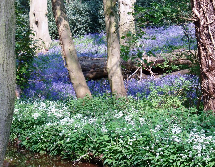 A carpet of bluebells amongst tree trunks and a fallen log. White wood anemones in the foreground | Anne Langley