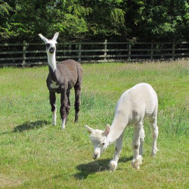 Alpacas in Warwickshire