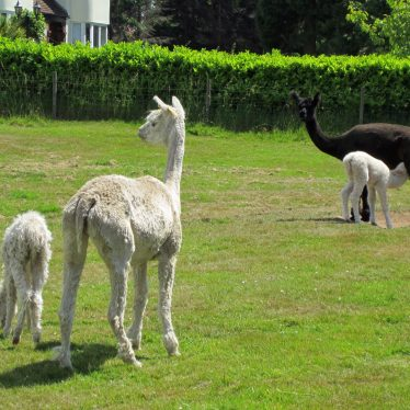 White mother and cria (baby) and dark brown mother and cria suckling in a field | Anne Langley