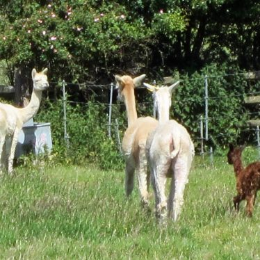 Three adults with white coats and one brown cria (baby) in a field | Anne Langley