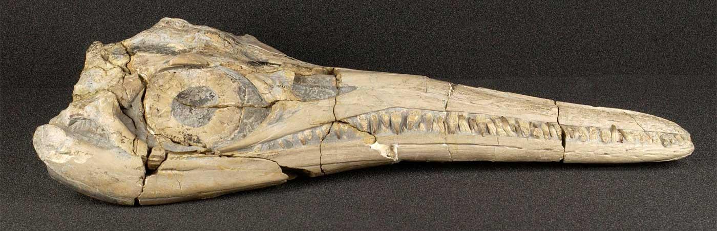 Warwickshire's Sea-dragon: an Ichthyosaur Skull From Binton