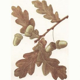 Acorns and oak leaves from a pedunculate oak | Sourced from Project Gutenberg, 'Wayside and Woodland Trees', Edward Step F. L. S.