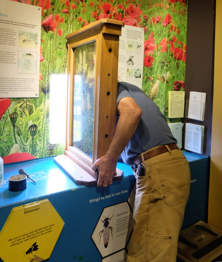 Our tame beekeeper moving our observation hive. | Photo courtesy of Market Hall Museum.