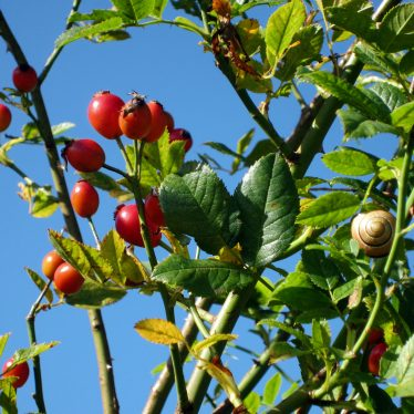 Ripe rosehips against a blue sky and small snail (yellow with black spiral line on) | Anne Langley