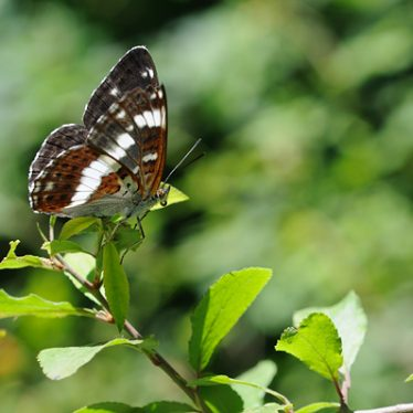 White Admiral butterfly | Stephen Cheshire