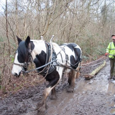 Horse timber extraction in Ryton Wood | WWT