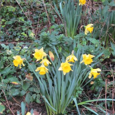 Daffodils in December