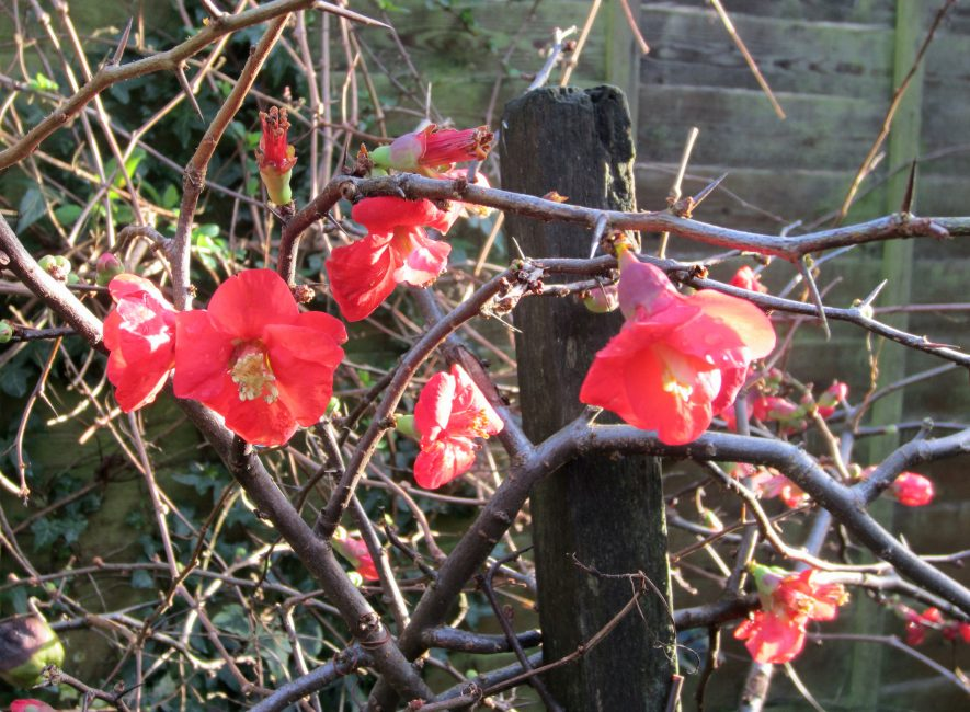 Bright red flowers and buds on bare spiney branches | Anne Langley