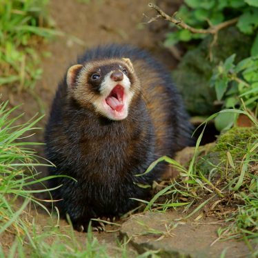 Return of Polecats