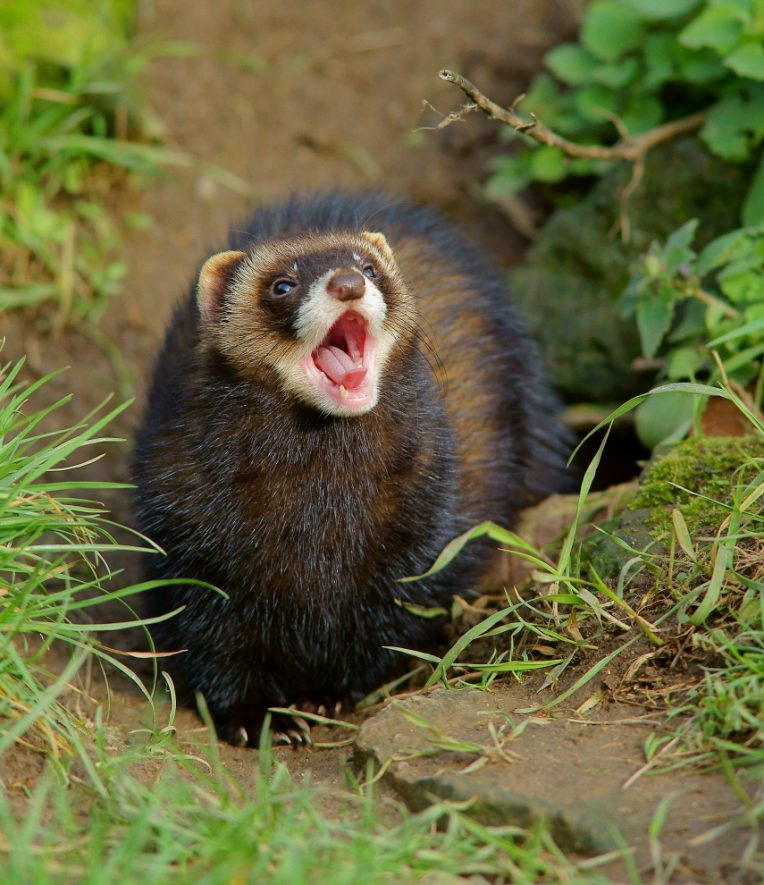 A Polecat at the British Wildlife Centre. | Image originally uploaded to Flickr by Peter Trimming (CC BY 2.0)