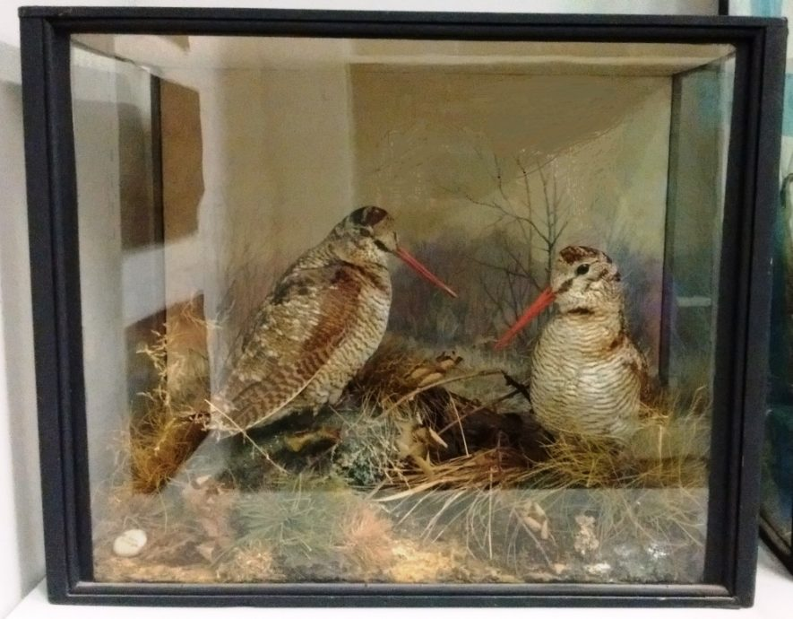 Cased Woodcocks made by Peter Spicer. | Picture taken by Laura McCoy with permission of Warwickshire Museum.