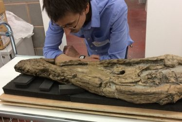 Return of the Wilmcote Plesiosaur Skull