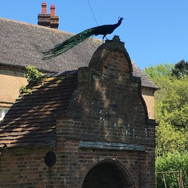 Beautiful peacock overlooking Whitacre Hall, 2018 | Image courtesy of Anna Fawcett