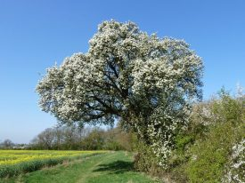 Cubbington's veteran Wild Pear Tree in spring blossom, standing on track of proposed HS2 railway | Photo courtesy of Frances Wilmot