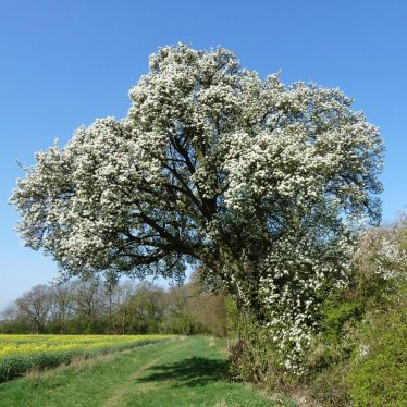 Cubbington Pear Tree is 8th in European Tree Contest