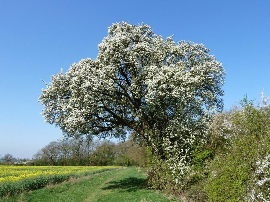 341kb-Cubbingtons-wild-pear-tree-in-spri
