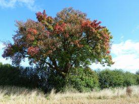 Cubbington's Wild Pear Tree in autumn hues. | Photo courtesy of Frances Wilmot