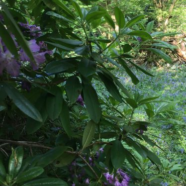 Foliage (purple rhodedendrons?) at Thickthorn Wood   Image courtesy of Tina Hayes