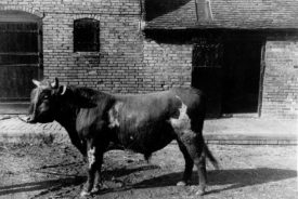 A bull at Hillcrest Farm, Warton, c. 1951. | Image taken by Romilly Lunge, supplied by Chris Kirsten