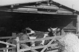 Livestock at Hillcrest Farm, Warton, c. 1951. | Image taken by Romilly Lunge, supplied by Chris Kirsten