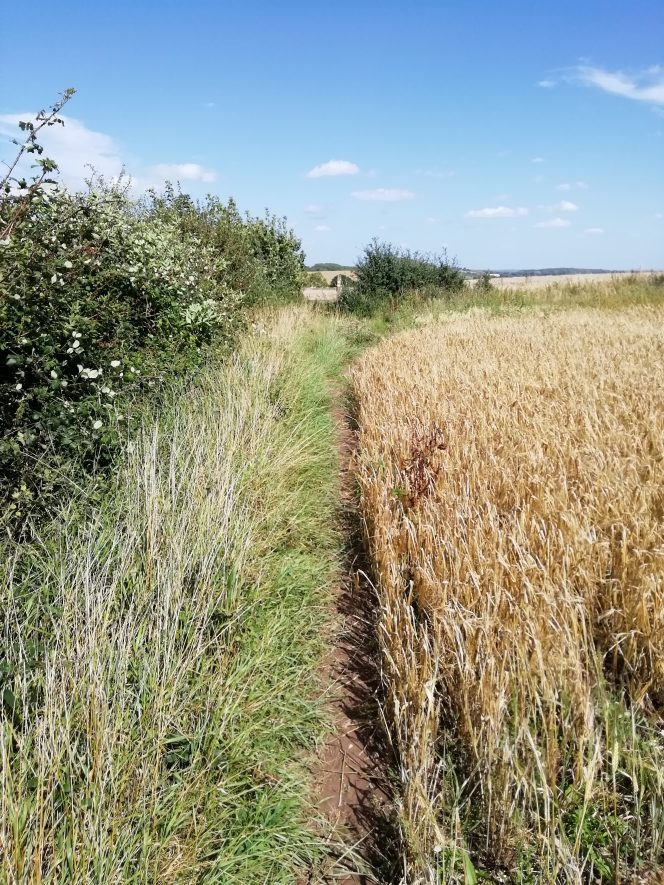 corn field with path and hedge on the left hand side | Image courtesy of Gary Stocker August 2020