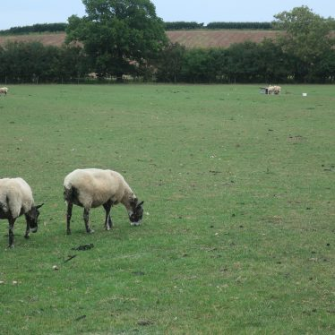 Field showing ridge and furrow in Radford Semele; sheep in foreground   Image courtesy of Gary Stocker