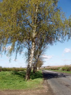 Silver birch trees beside a road | Image courtesy of Maureen Harris